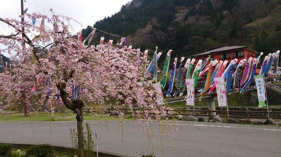 板室自然遊学センターの桜が見頃です。