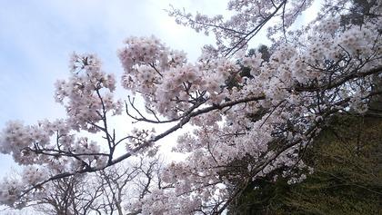 塩原温泉 『桜情報』