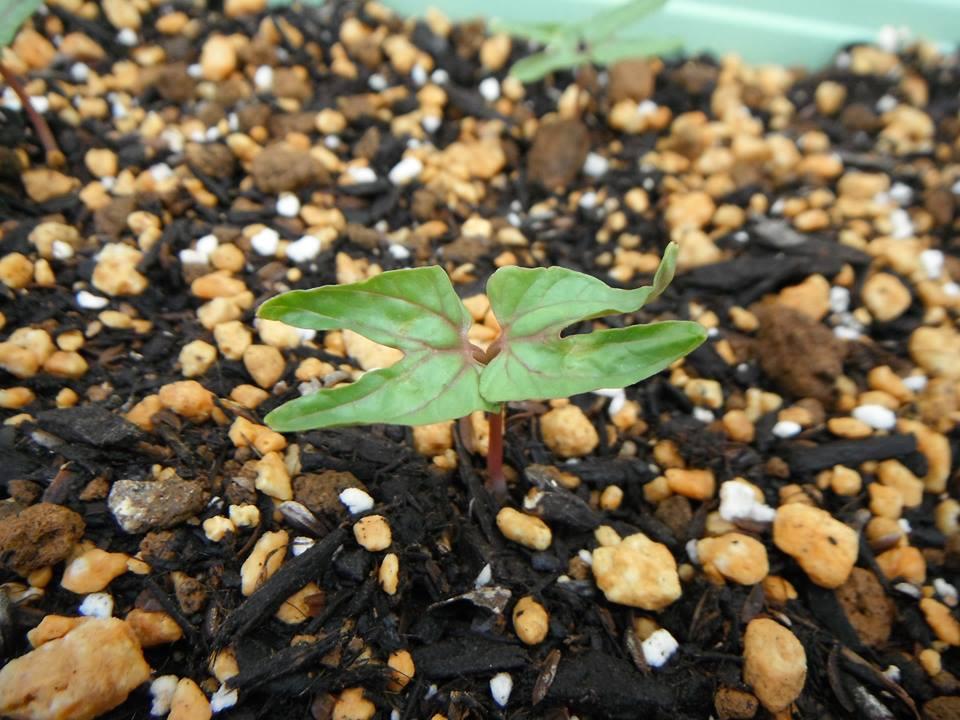 西洋朝顔「ヘブンリーブルー」の種蒔