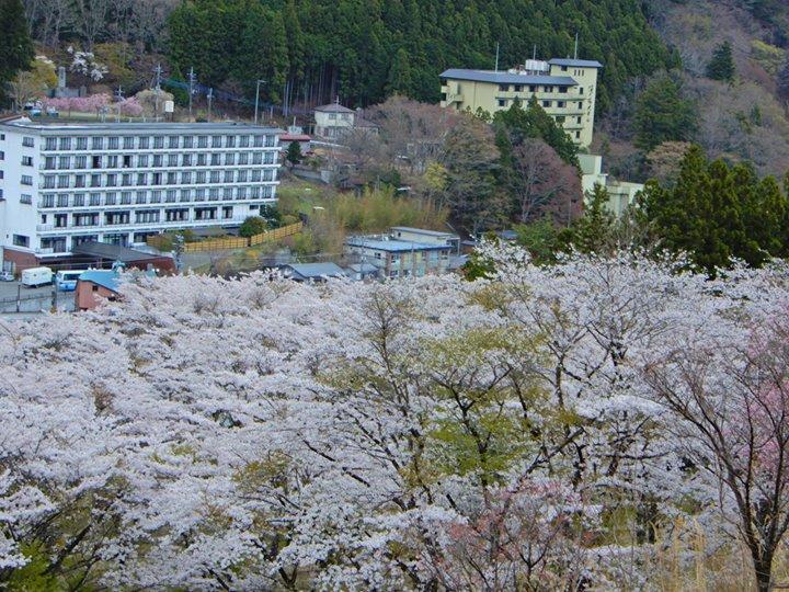 今日の雨で少し散り始めてしまったかもしれませんが、塩原温泉は今が桜のピークです。