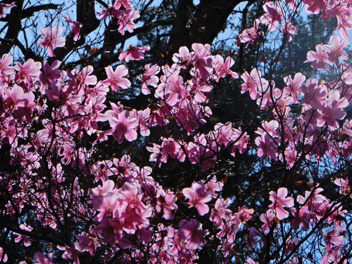 塩原渓谷に春を告げる花、ヤシオツツジ(アカヤシオ)。