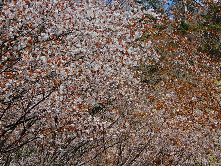 そして、桜の咲くのが遅い塩原。