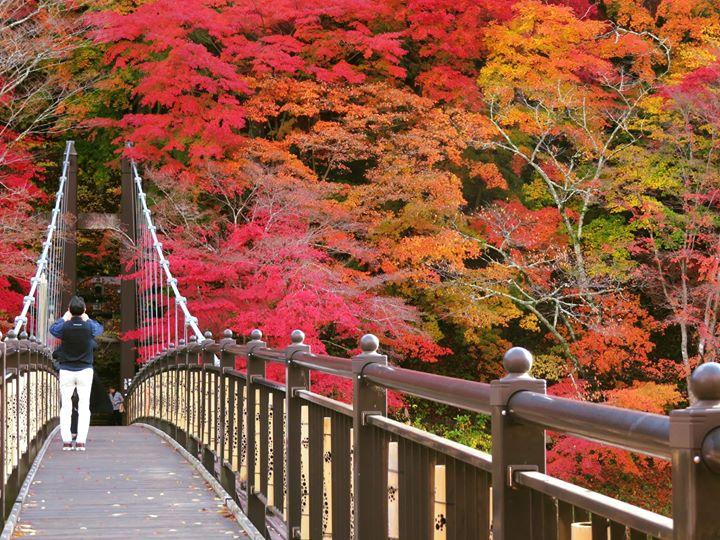 今日の紅の吊橋です。