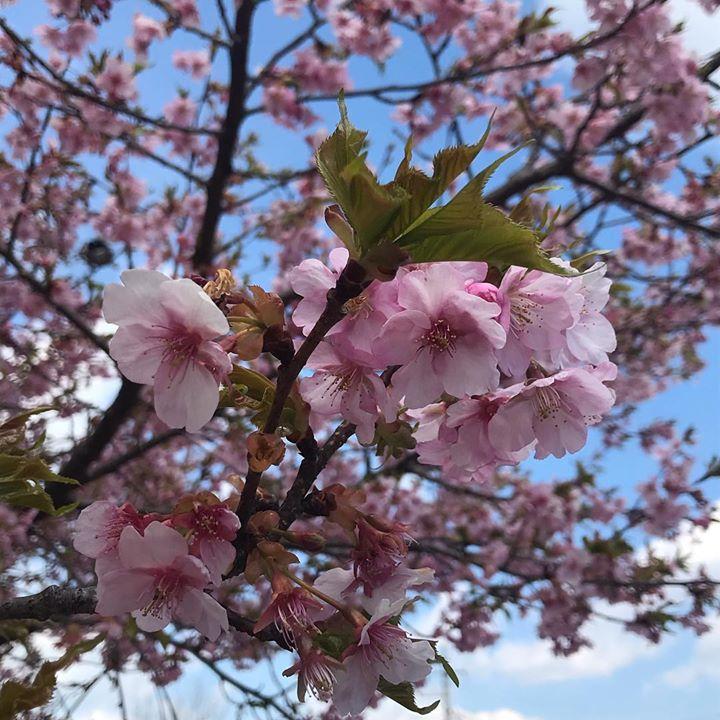 烏ヶ森公園にて、早咲きの桜を発見