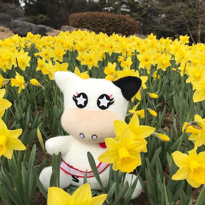 那須野が原公園、東那須野公園では水仙と梅の花が咲き始めてます
