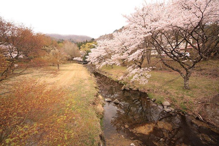 塩原温泉郷のさくら公園墓地、中塩原の箒川遊歩道の桜が満開です。