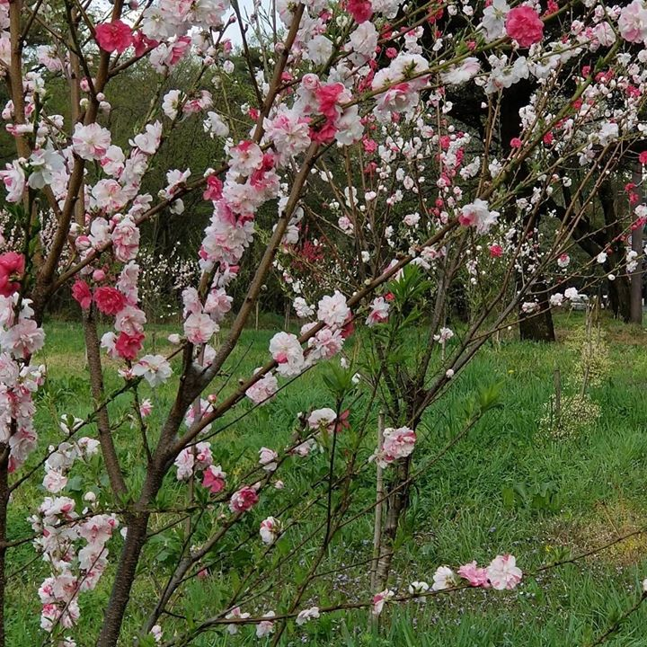 まだあまり知られていませんが、千本松牧場道路沿いの花桃、見事です‼︎