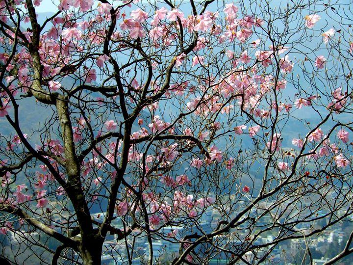 塩原温泉街を見下ろす山の斜面に咲くヤシオツツジ。