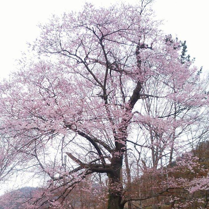本日4/17の塩原温泉門前地区の実美桜の様子‼︎