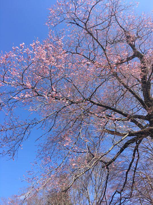 実美桜が開花し始めました!