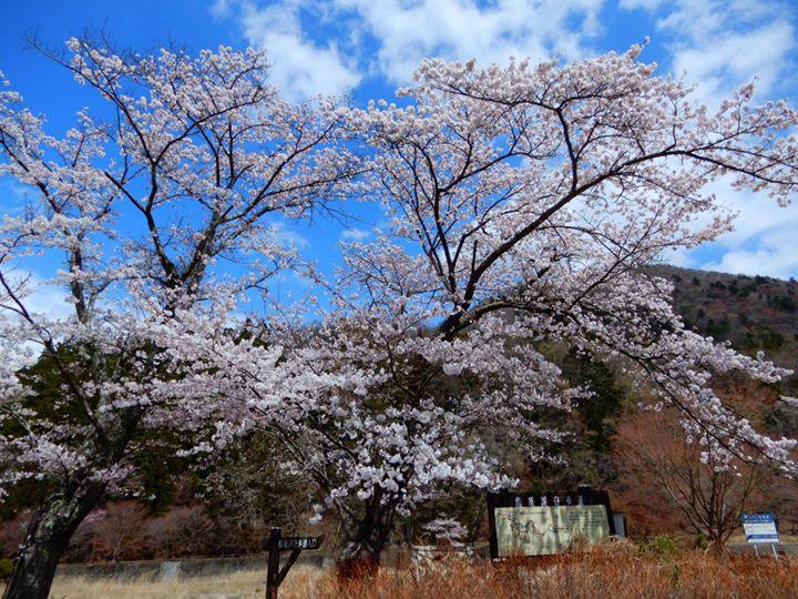 塩原温泉街や塩原街道沿いでも、桜が満開です。