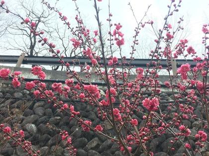 4/12塩原温泉桜の開花状況